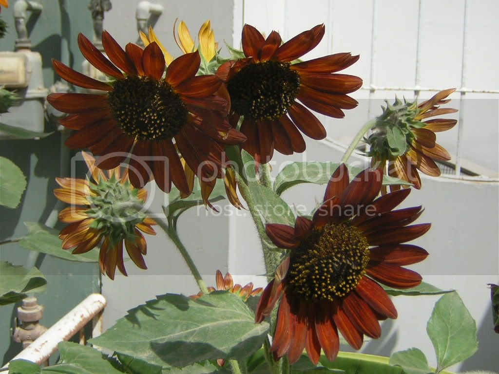 Red; Sunflower; tall red