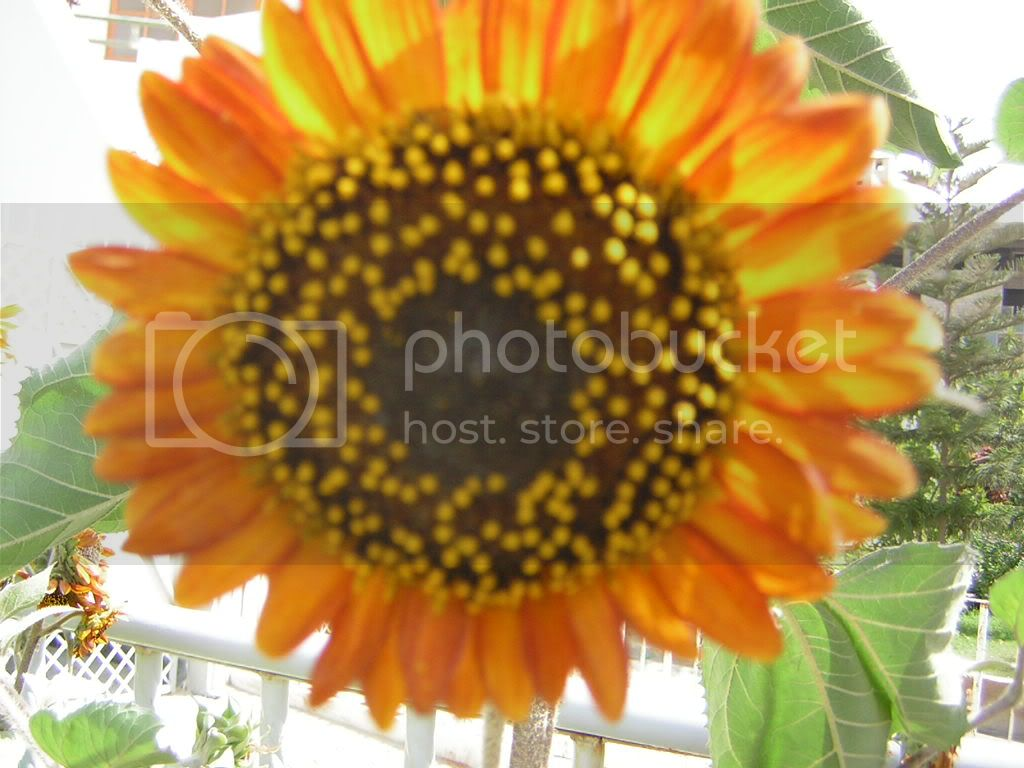 Orange; Sunflower