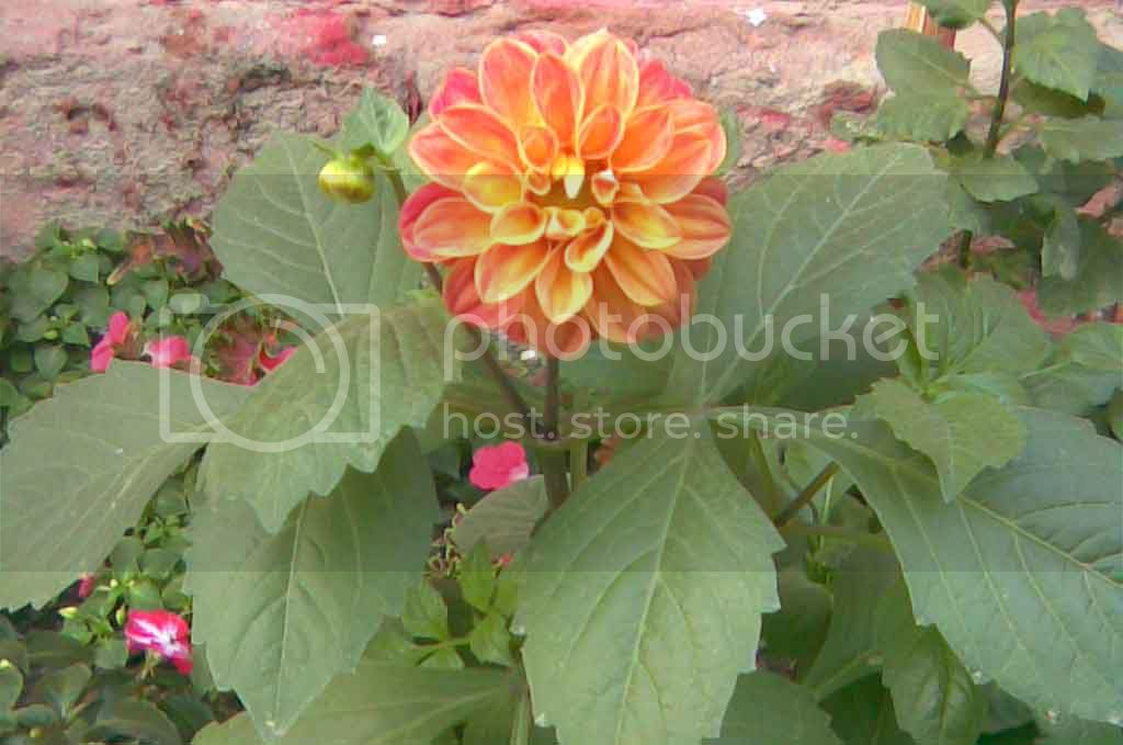 Dwarf Dahlia Garden pride