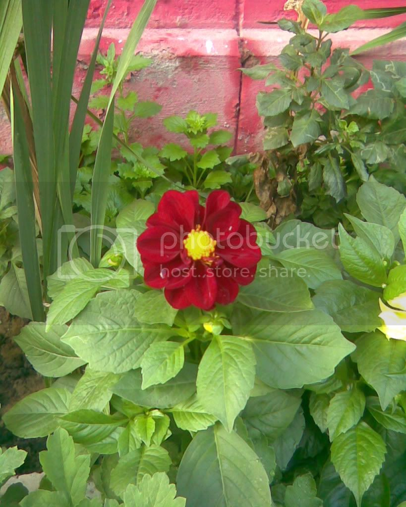 Dahlia Dwarf 